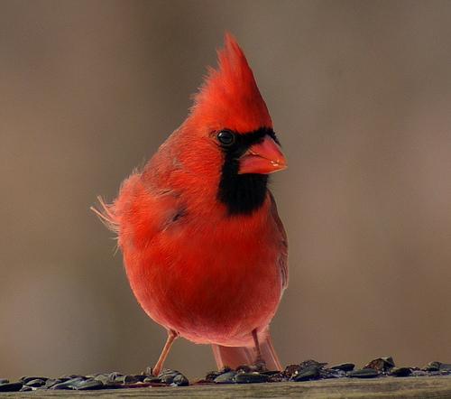 King Cardinal